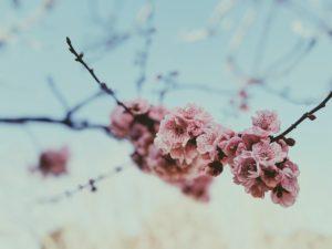 【賞櫻露營攻略】想要在滿滿的櫻花裡露營嗎?教你3步驟,讓你可以一邊賞櫻一邊露營