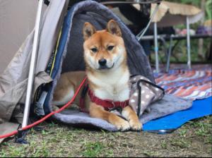 【寵物露營】毛孩露營裝備大公開,狗狗用的比人還好啊!